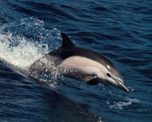 Golfinhos Lagos, Algarve